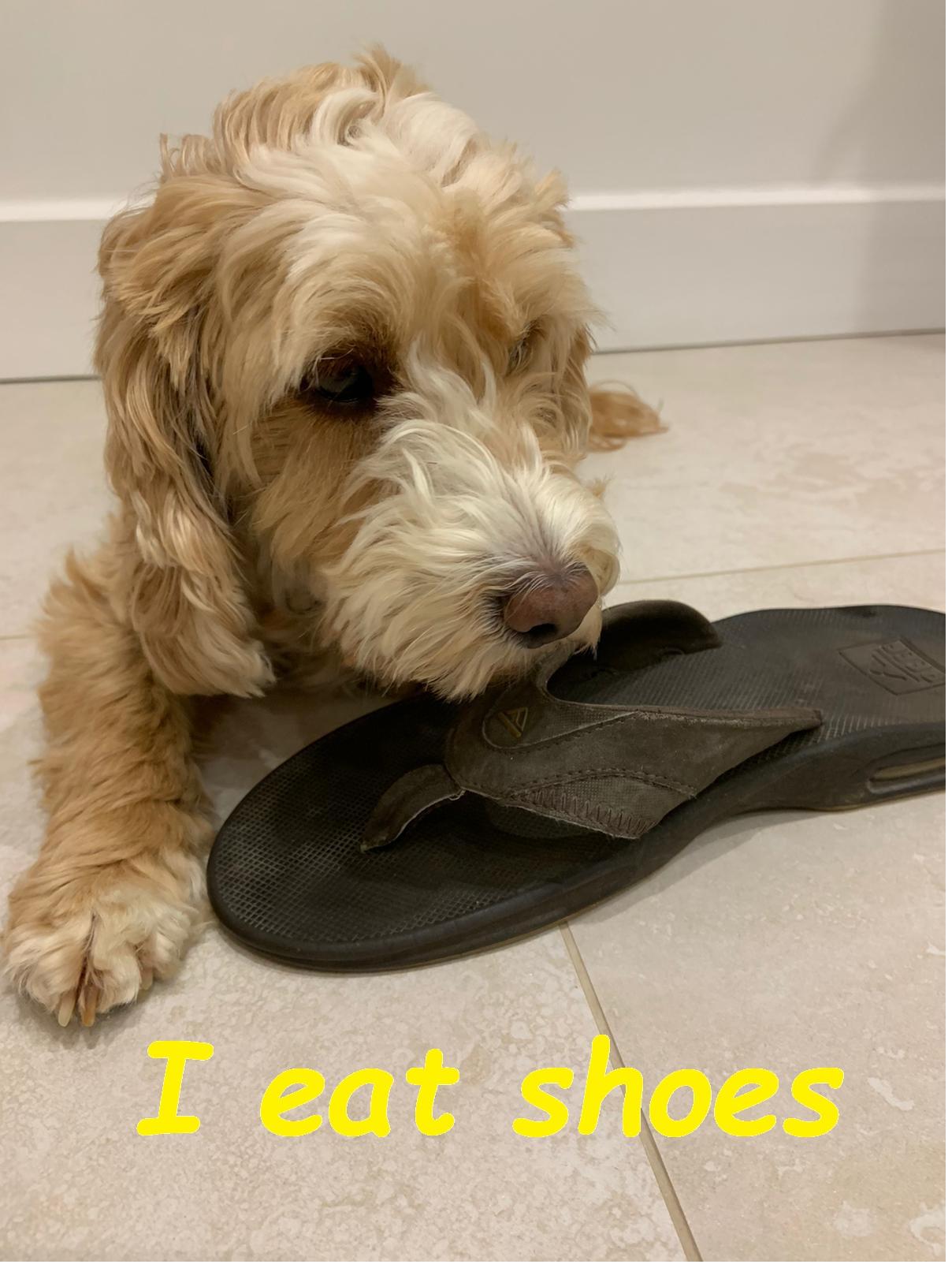 Dog 3. I eat shoes.